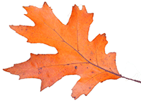 An Oak leaf
